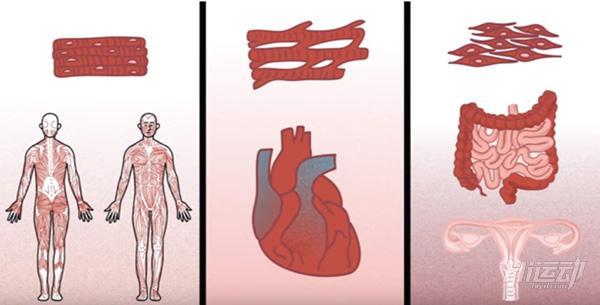 肌肉由什么组成_肌肉很发达?怕是连生孩子都控制不住,你不知道的肌肉系统_Hi ...