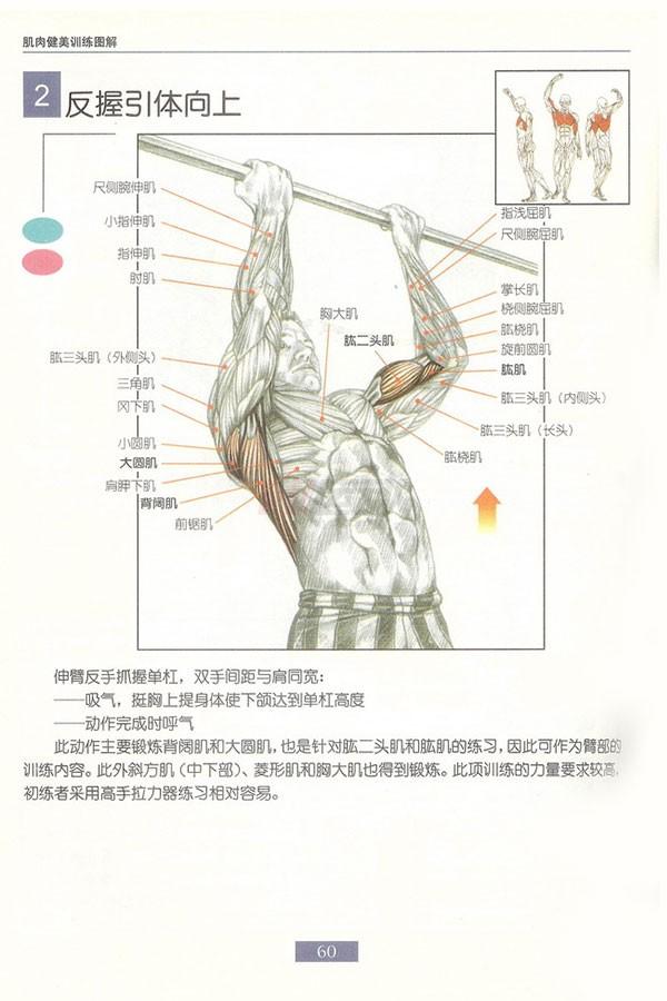 肌肉健美训练图解:背部动作 - 图片3