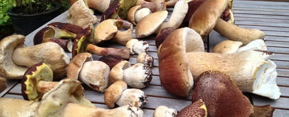蘑菇(鲜蘑), 又叫蕈、菌、茸、蘑菰、蘑菇蕈、蘑子蕈、肉蕈、肉菌、蘑菇菌